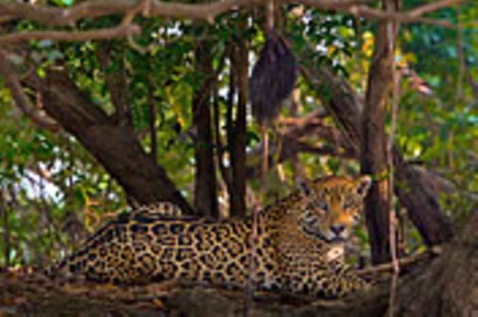 Artenschutz: Wo darf der Jaguar leben?