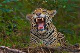 Artenschutz: Wo darf der Jaguar leben? - Bild 8