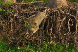 Artenschutz: Wo darf der Jaguar leben? - Bild 9