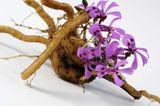 Kapland-Pelargonie (Pelargonium sidoides)