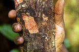 Afrikanisches Stinkholz (Prunus africana)