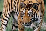 Tiger (P. tigris)