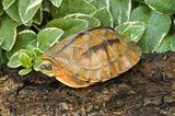 Asiatische Dreistreifen-Scharnier-Schildkröte (Cuora trifasciata)