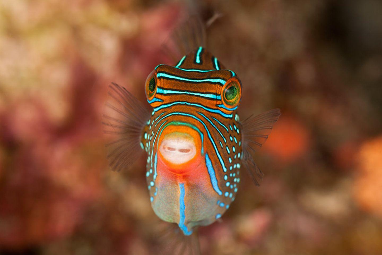 Falschaugen-Krugfisch, Canthigaster papua