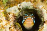 Blaustreifen-Säbelzahnschleimfisch, Plagiotremus rhinorhynchos