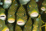 Goldband-Süßlippe, Plectorhinchus polytaenia