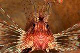 Pazifischer Rotfeuerfisch, Pterois volitans