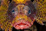 Kurzflossen-Zwergfeuerfisch, Dendrochirus brachypterus