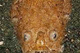 Weißrand-Sterngucker, Uranoscopus sulphureus