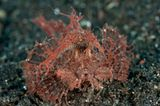 Ambon-Drachenkopf, Pteroidichthys amboinensis
