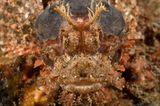 Bärtiger Drachenkopf, Scorpaenopsis oxycephala