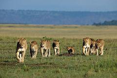 Raubkatzen: Im Reich der Löwen und Geparden