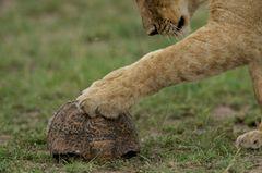 Raubkatzen: Im Reich der Löwen und Geparden - Bild 3