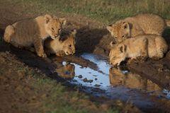 Raubkatzen: Im Reich der Löwen und Geparden - Bild 4