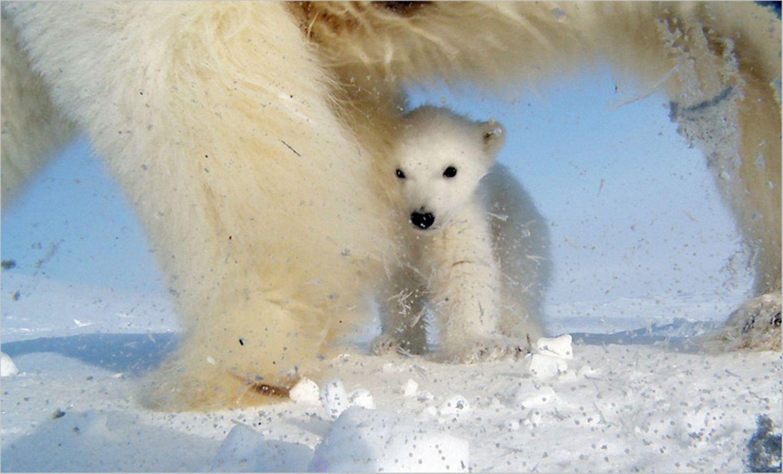 Aug in Aug mit den Eisbären