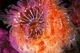 Unterwasserfotografie: Fotogalerie: Leben im Nordpazifik - Bild 4