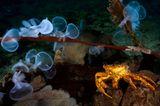 Unterwasserfotografie: Fotogalerie: Leben im Nordpazifik - Bild 8