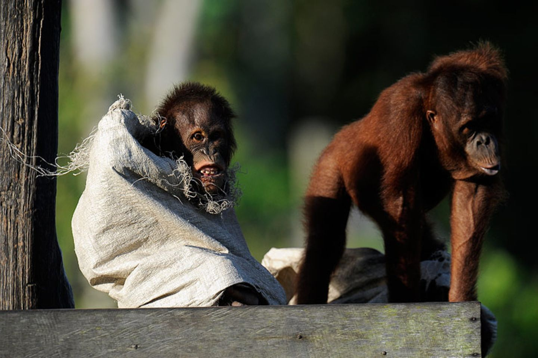 Orang-Utans: Zurück in die Freiheit