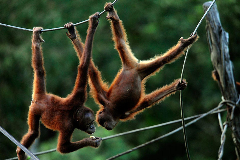 Orang-Utans: Zurück in die Freiheit - Bild 6