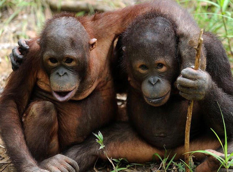 Orang-Utans: Zurück in die Freiheit - Bild 7