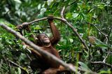 Orang-Utans: Zurück in die Freiheit - Bild 13