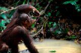 Orang-Utans: Zurück in die Freiheit - Bild 14