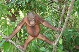 Orang-Utans: Zurück in die Freiheit - Bild 15