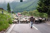 Mit 2000 Schafen über die Alpen - Bild 2