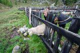 Mit 2000 Schafen über die Alpen - Bild 3