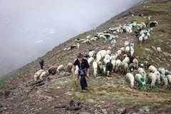 Mit 2000 Schafen über die Alpen - Bild 4