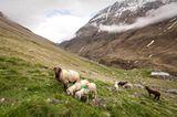 Mit 2000 Schafen über die Alpen - Bild 14