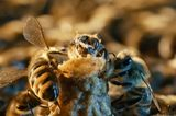 "Fotogalerie: ""More Than Honey"" - Bild 8"