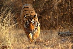 Tiger: Bedrohte Jäger