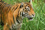 Tiger: Bedrohte Jäger - Bild 2