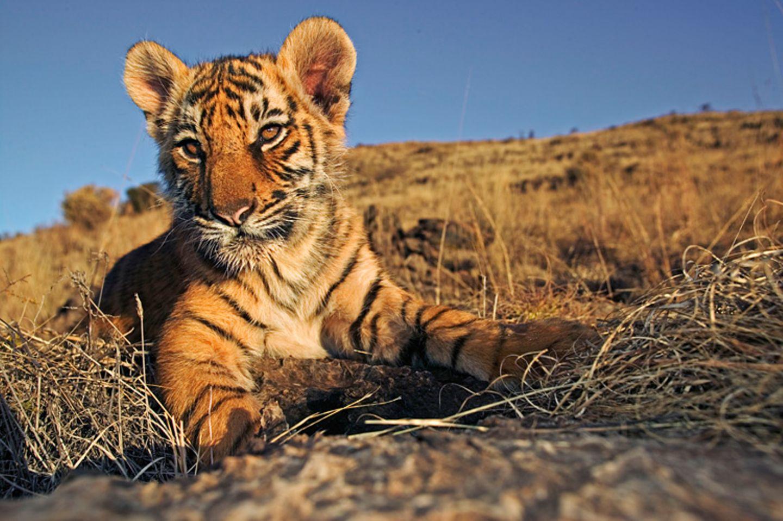 Tiger: Bedrohte Jäger - Bild 3