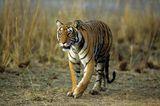 Tiger: Bedrohte Jäger - Bild 4