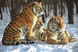 Tiger: Bedrohte Jäger - Bild 5