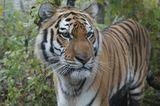 Tiger: Bedrohte Jäger - Bild 6