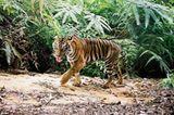 Tiger: Bedrohte Jäger - Bild 8