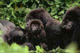Berggorillas: Bedrohte Affen