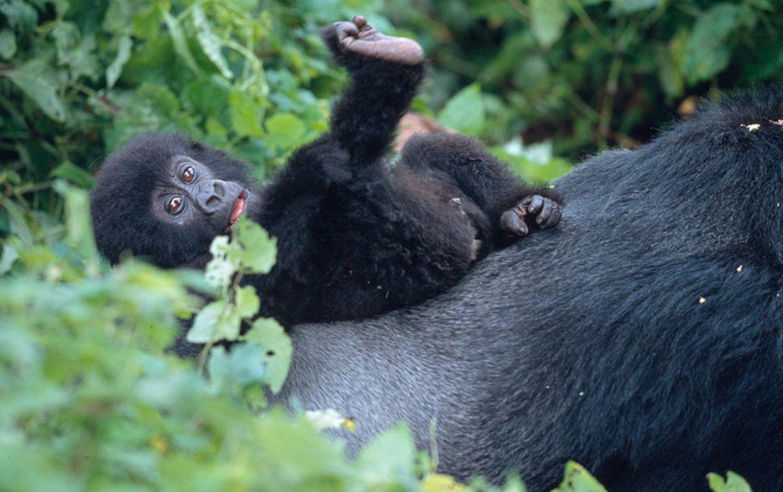 Berggorillas: Es werden wieder mehr - Bild 2