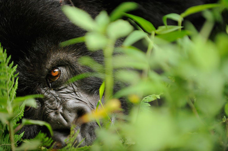 Berggorillas: Es werden wieder mehr - Bild 3