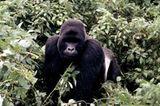 Berggorillas: Es werden wieder mehr - Bild 4