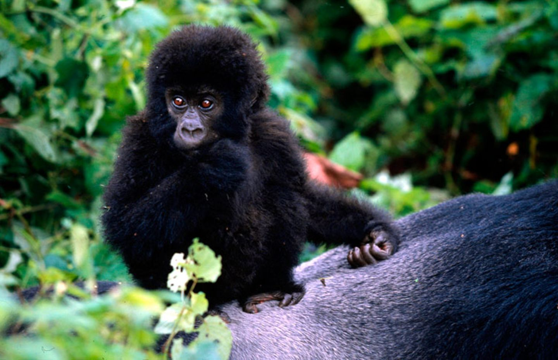 Berggorillas: Es werden wieder mehr - Bild 5