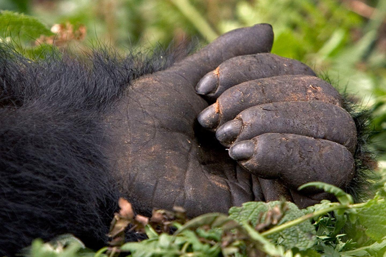 Berggorillas: Es werden wieder mehr - Bild 6