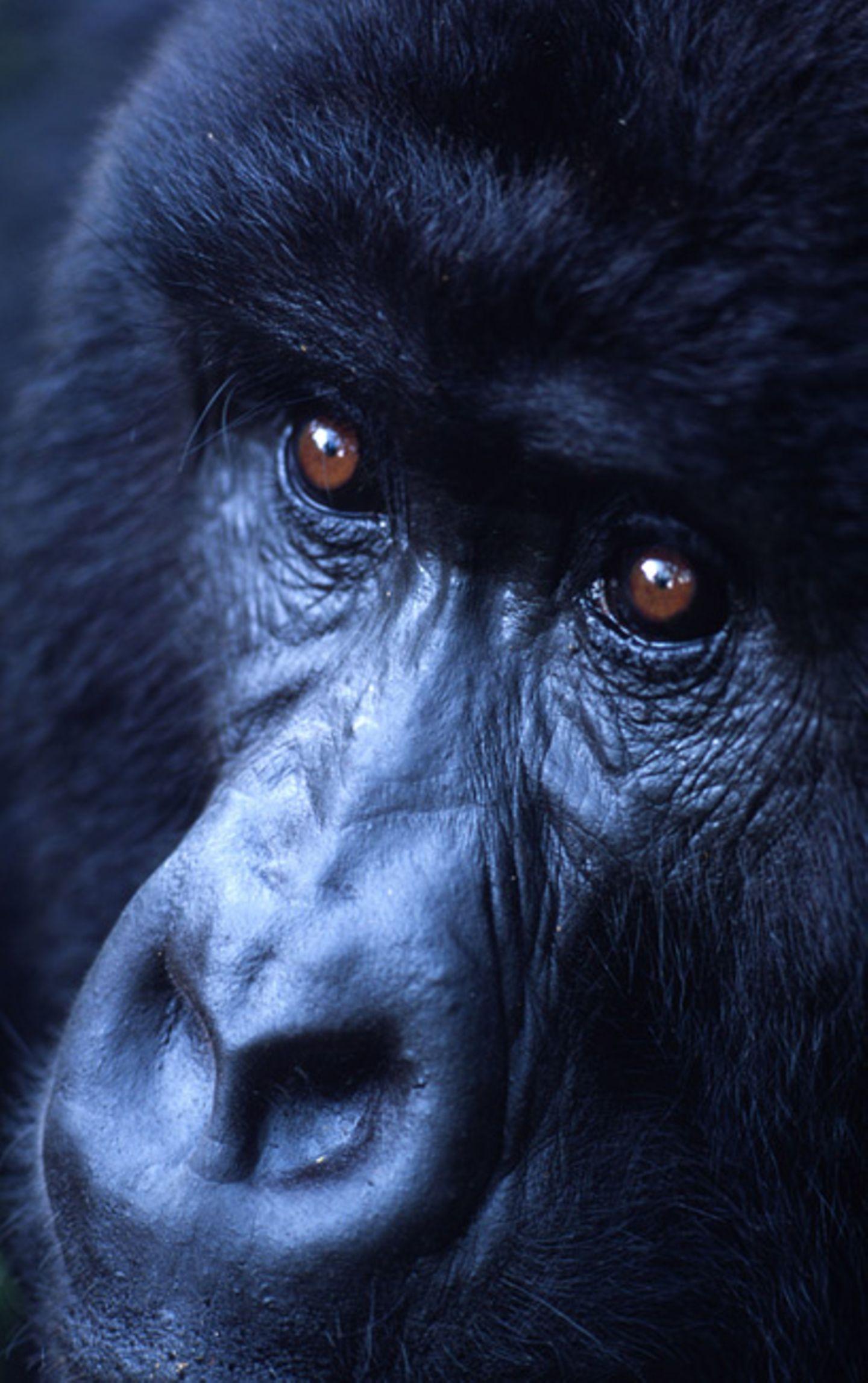 Berggorillas: Es werden wieder mehr - Bild 8