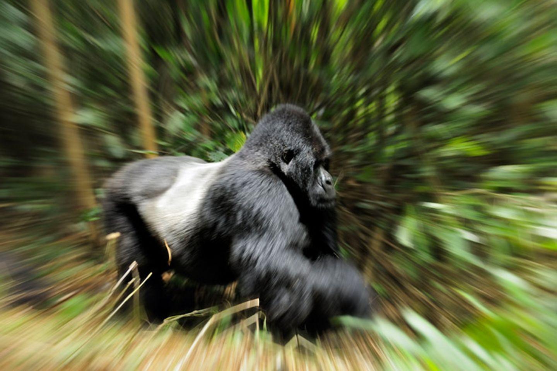 Berggorillas: Es werden wieder mehr - Bild 9