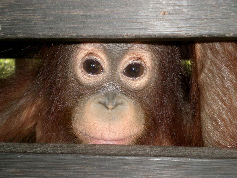 Menschenaffen: Orang-Utans in Not