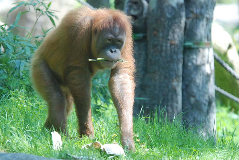 Menschenaffen: Orang-Utans in Not - Bild 2
