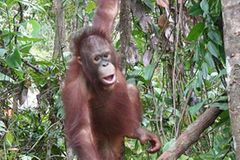 Menschenaffen: Orang-Utans in Not - Bild 3